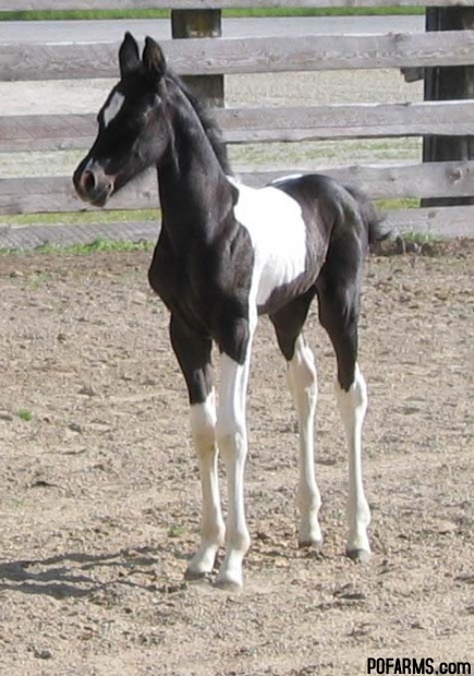 Gorgeous Amp Flashy Ptha Registered Black And White Pinto