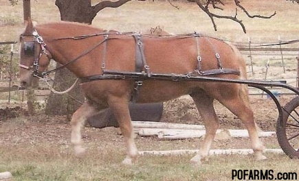 HANDMADE AMISH HORSE TACK AND HAFLINGER HORSE FOR SALE :: Pend ...